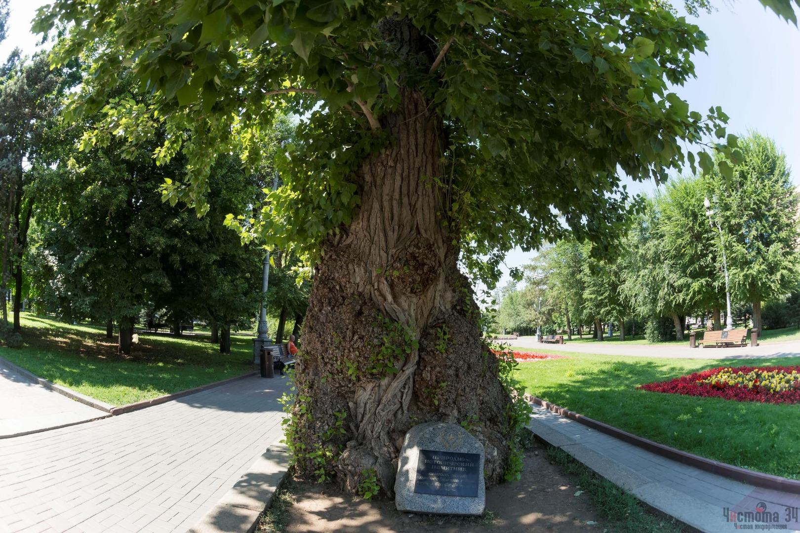 Тополь на Площади павших борцов, Волгоград